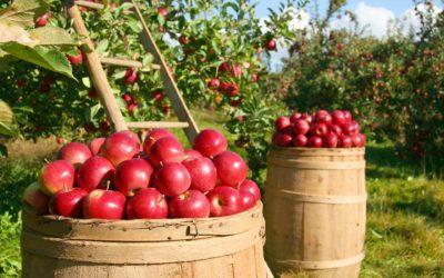 Pomme pour compote et jus