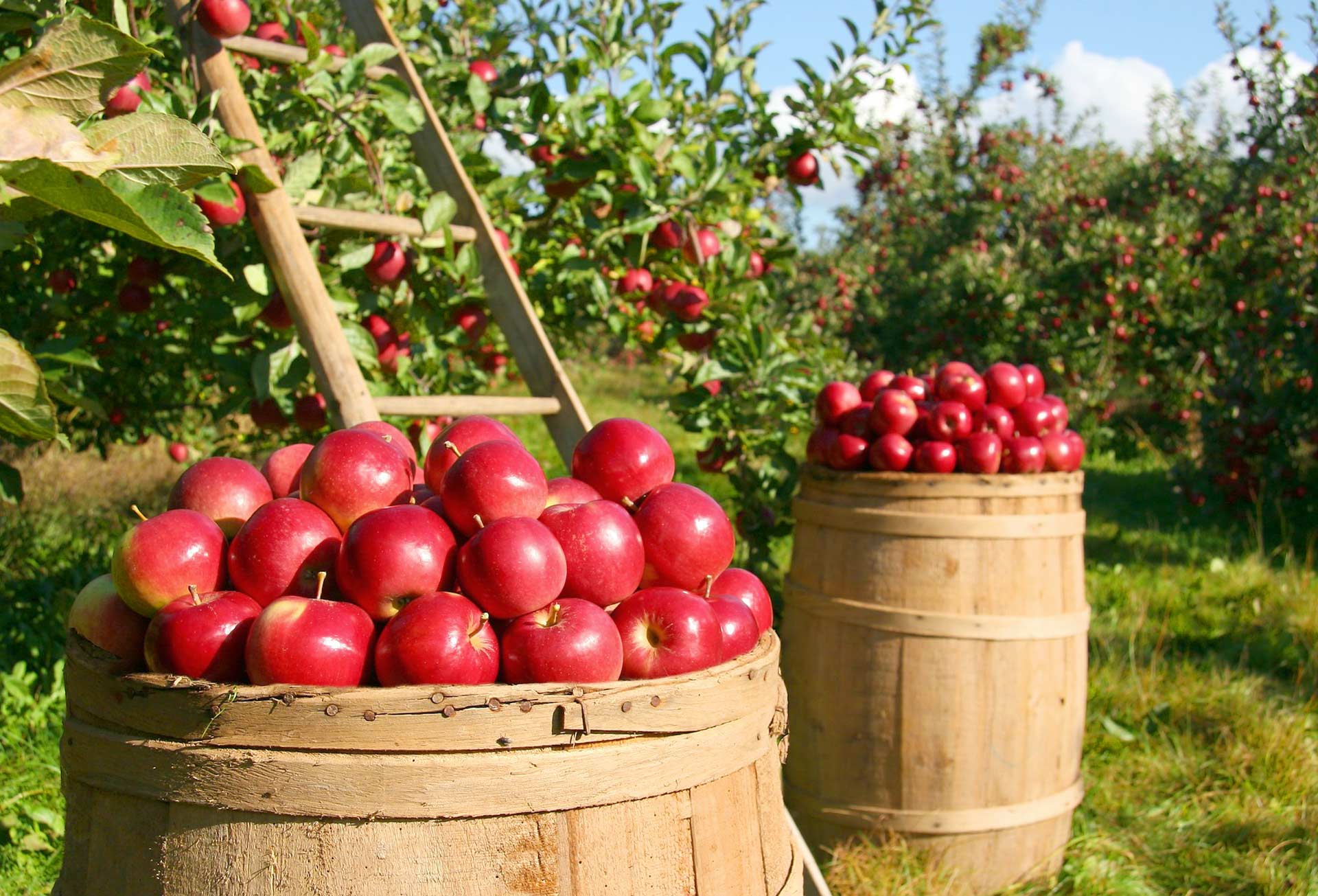 Producteurs de pommes Gala