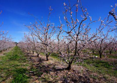 Abricotiers en fleur