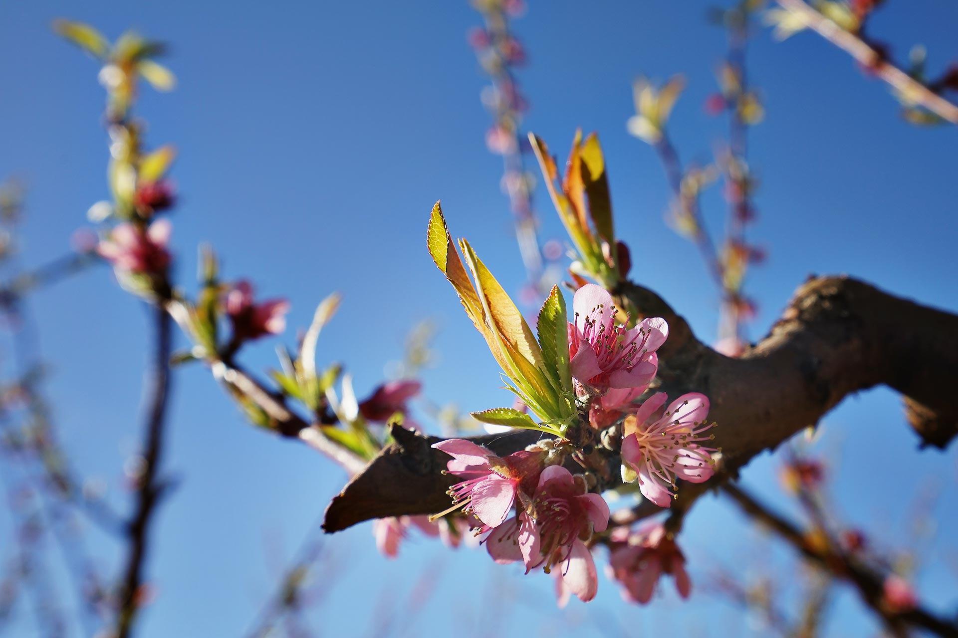 Les pêchers et abricotiers sont en fleurs